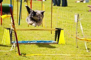 agilitydog
