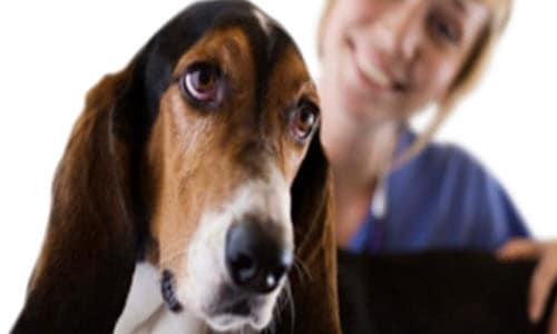 pet beagle at vets office