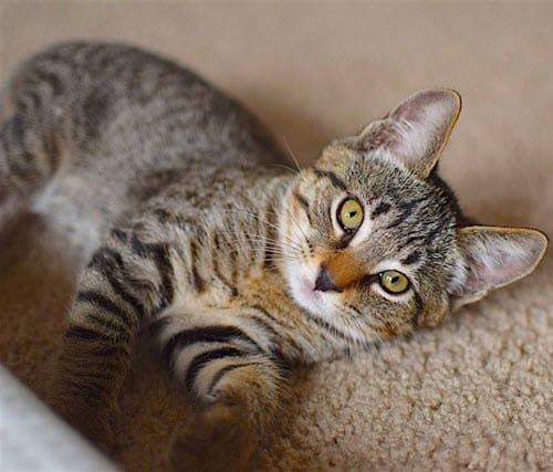 https://pixabay.com/en/cat-lounging-kitten-pet-animal-1832043/