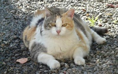 Obesity in Cats is a Real Thing