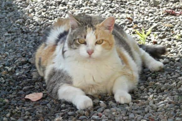 a fat cat
