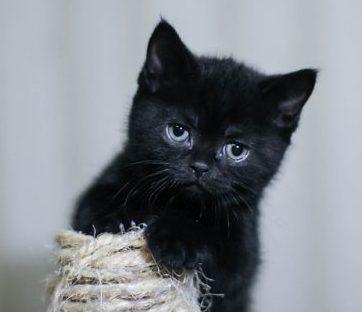 the black cat kitten