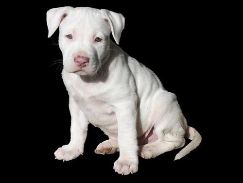 cute-pit-bull-puppy