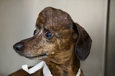 Patches, the dachsund, with a big tumor, before surgery