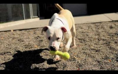 Pitbull Awareness Month 2020 – Myths vs Facts