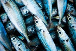 Munching mackerel for a cat feast