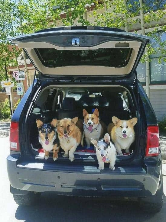 dogs in car ready to go