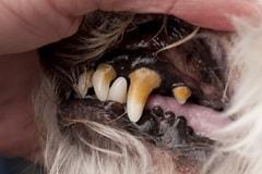 Canine periodontitis
