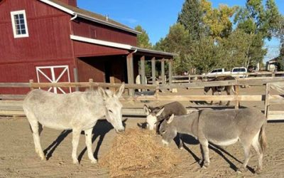 Rescued by Longhopes Donkey Shelter and Adoptions